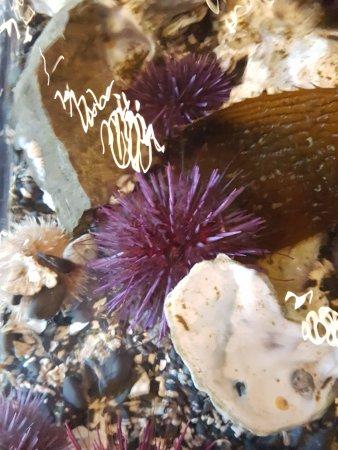 Ucluelet Aquarium: More beautiful urchins