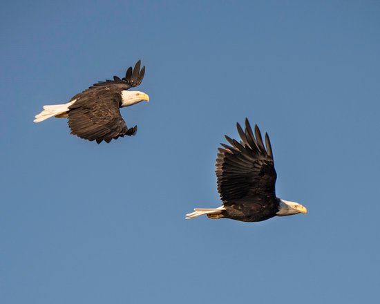 Lund, Kanada: Randal called these eagles over from the shoreline and gave them chicken as a reward
