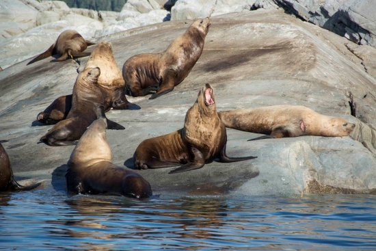 Lund, Kanada: Sea Lions hanging out