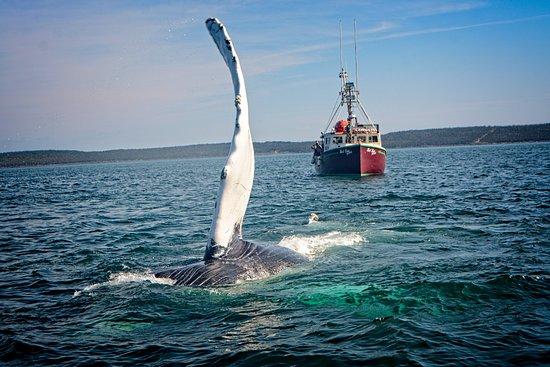 Tiverton, Kanada: Playful whale getting close