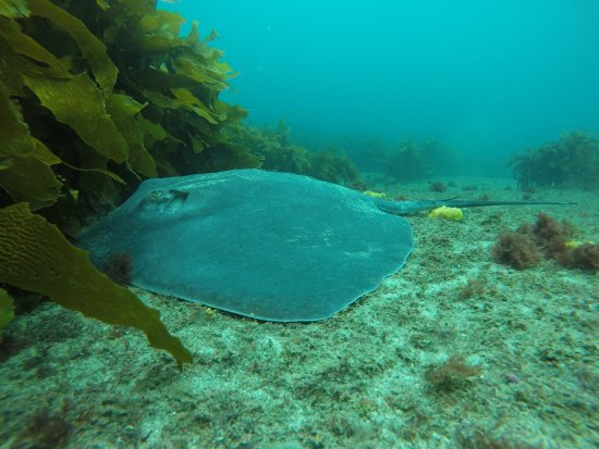 Leigh, New Zealand: Stingray