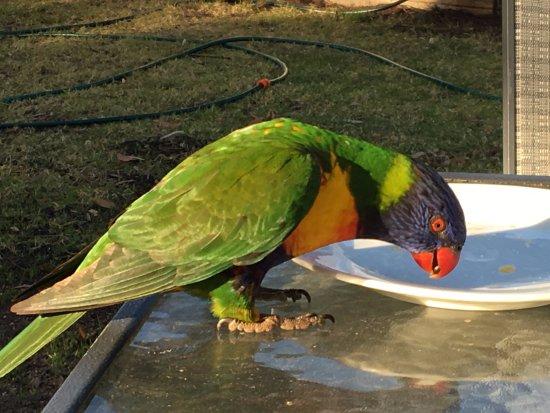 Merimbula, Australien: Breakfast with the Lorikeets . . .