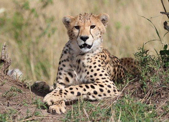Mara Bushtops & Spa Village : Cheetah in Masai Mara Reservation