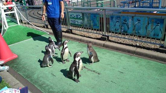 Muroran, Nhật Bản: 11時と15時のペンギンの散歩
