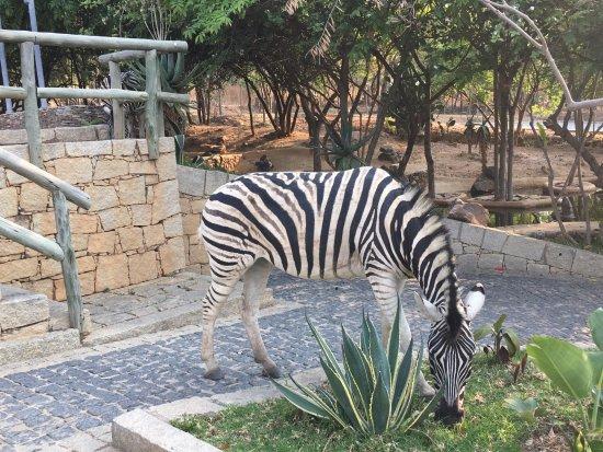 Pululukwa Resort: Zebras are free to wonder around