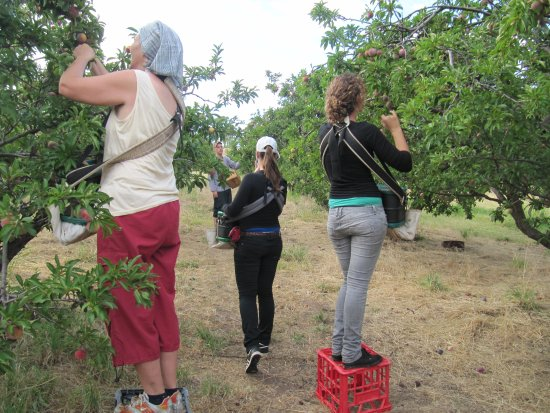 Wirrabara, ออสเตรเลีย: Harvesting plums in Summer