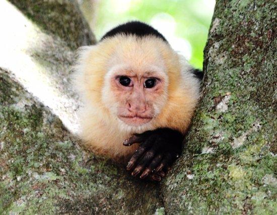 Santa Ana, Costa Rica: Monkey in the rain forest