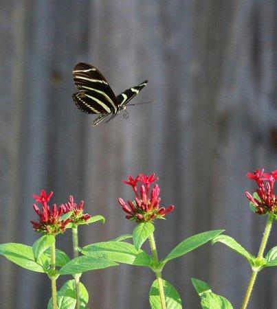 Port Saint Lucie, FL: Penta Butterfly