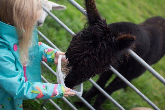 Hartington, UK : Animal feeding time