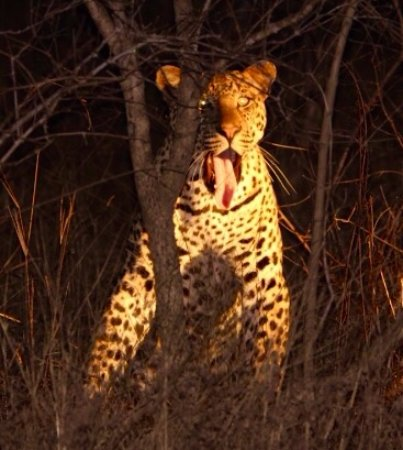 Lukimbi Safari Lodge: Resident Male Leopard on a night drive