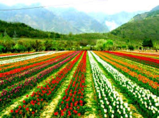 Discover Gulmarg Adventures : tulip garden