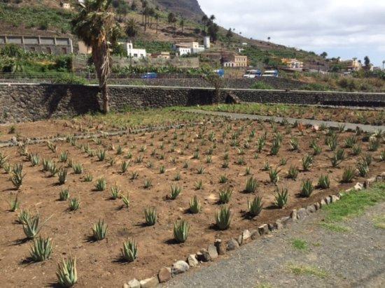 Finca Canarias Aloe Vera en La Gomera