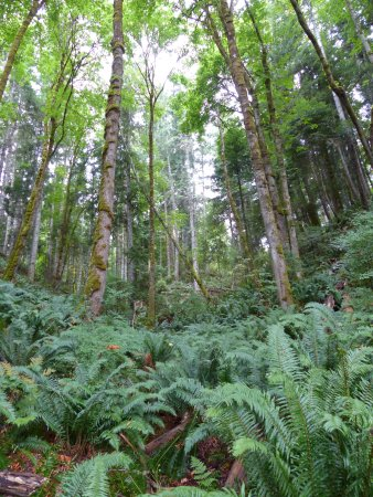 Courtenay, Canadá: tall trees and ferns