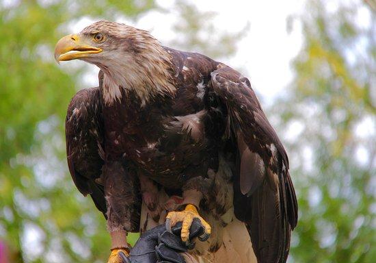 Teton Raptor Center: A juvenile Bald Eagle.