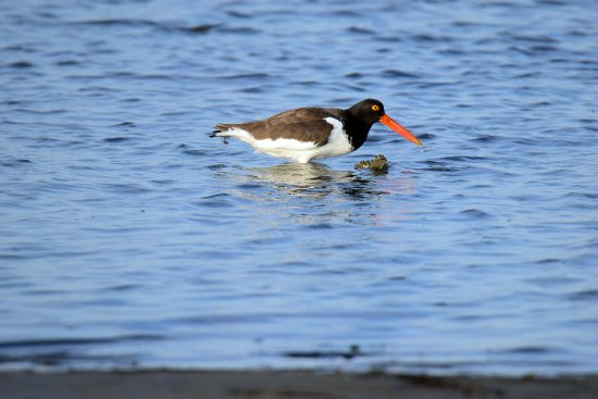 Daisey's Island Cruises: oyster catcher