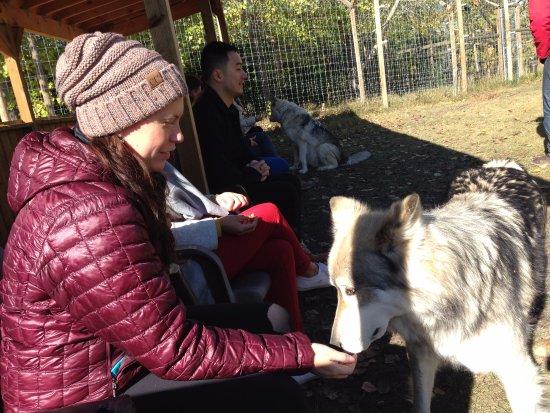 Yamnuska Wolfdog Sanctuary : Kara feeding out of hand, the 2nd pen.
