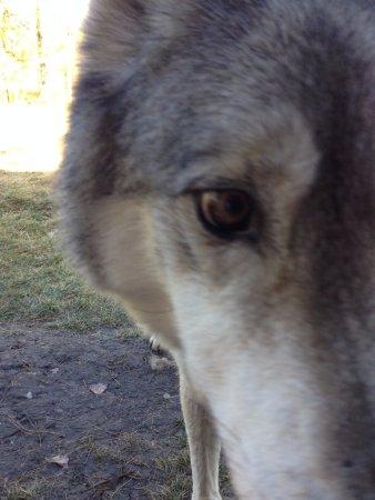Yamnuska Wolfdog Sanctuary : snacks and treats!!