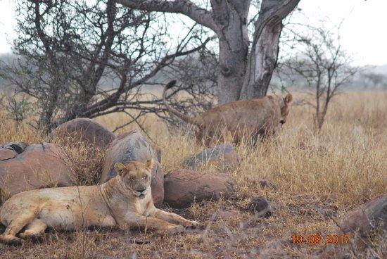 Mkuze, Νότια Αφρική: full lions
