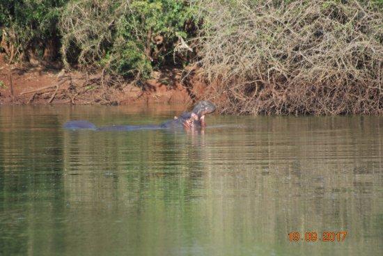 Mkuze, Νότια Αφρική: hippo
