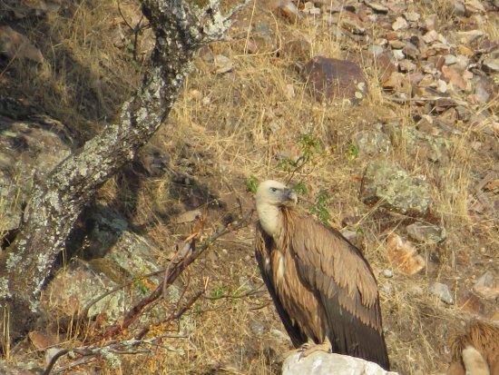Malpartida de Plasencia, Spanyol: Buitre en Monfrague