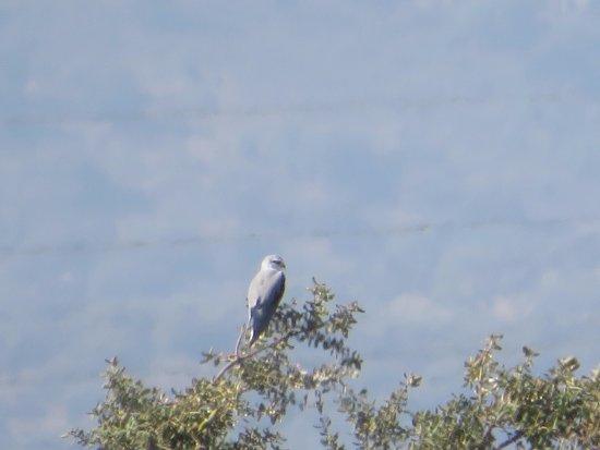 Malpartida de Plasencia, Spanyol: Elanio azul