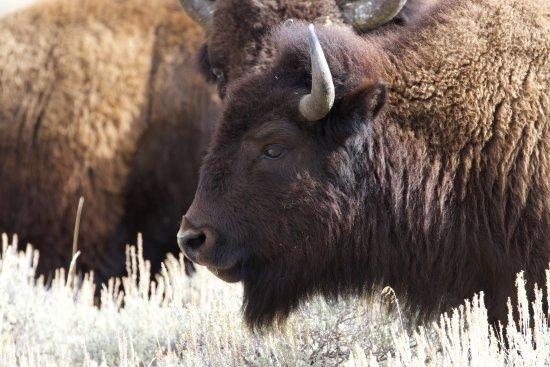 Jackson Hole, WY: Bison