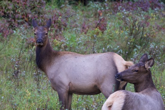 Jackson Hole, WY: Elk cow