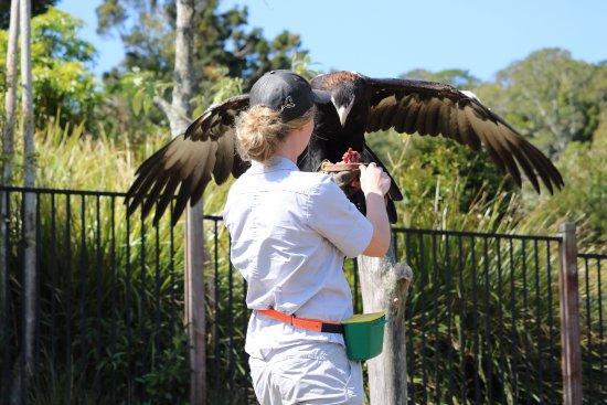 Lamington National Park, Αυστραλία: Guide Chloe was superb. Birds of Prey show.