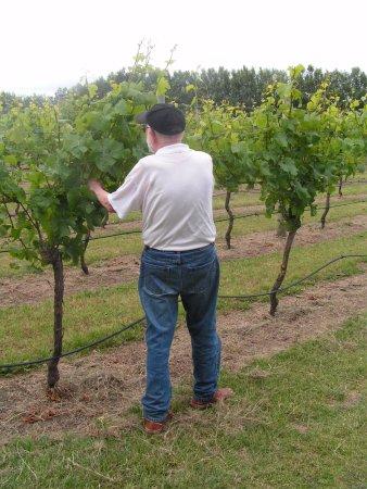 Martinborough, New Zealand: Mark Haythornthwaite inspecting a vine