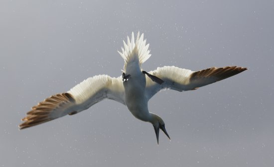Mull Charters : Diving Gannet