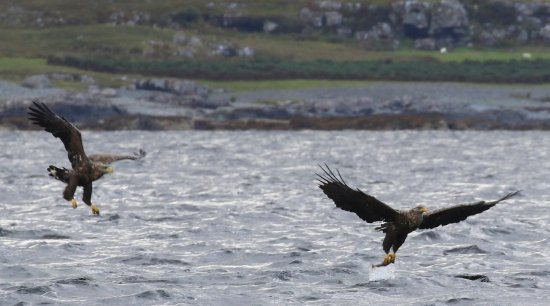 Mull Charters : Two Eagles! :)