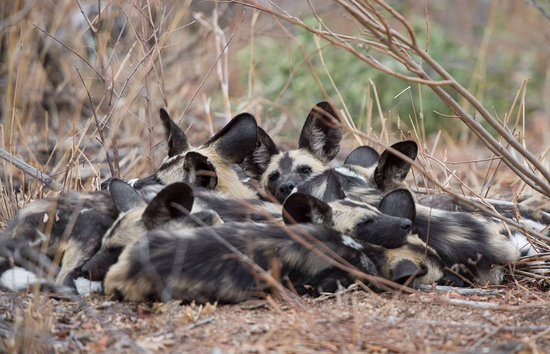 Ulusaba Safari Lodge: Extremely rare wild dogs