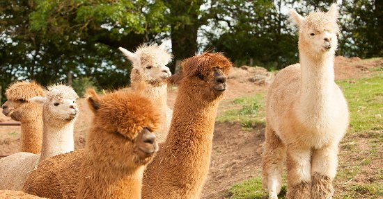 Yarm, UK: Alpaca Alpaca At Leven Valley