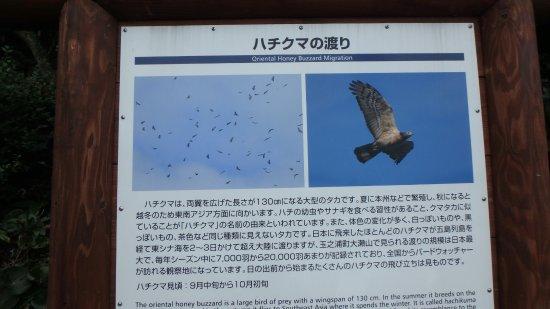 Osezaki Dangai: ハチクマ(タカの種類)渡り