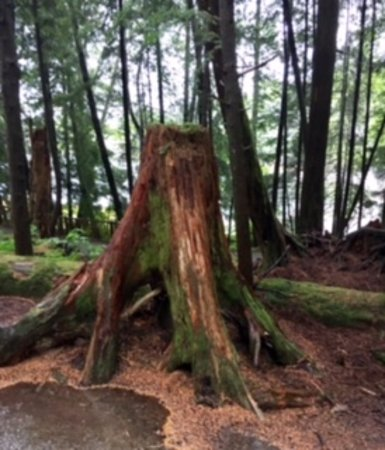 Totem Bight State Historical Park: Tree roots intertwine with other trees due to shallow soil