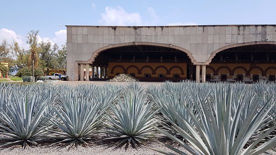 Amatitan, Μεξικό: Agave