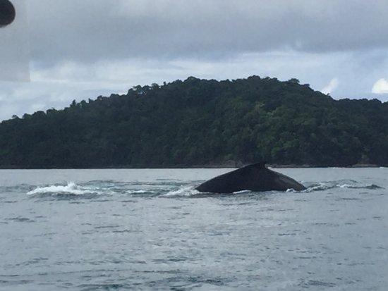 Isla Boca Brava, Panama: ballena