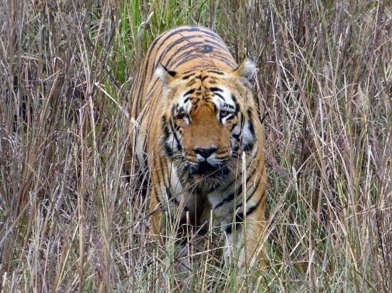 Tadoba Andhari Tiger Reserve, Indie: Waghdoh Male - tadoba