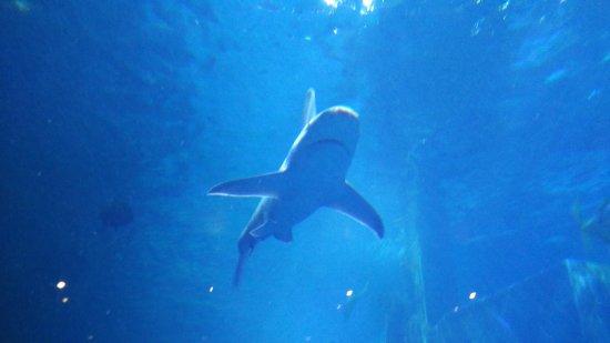 Sea Life Melbourne Aquarium: Shark