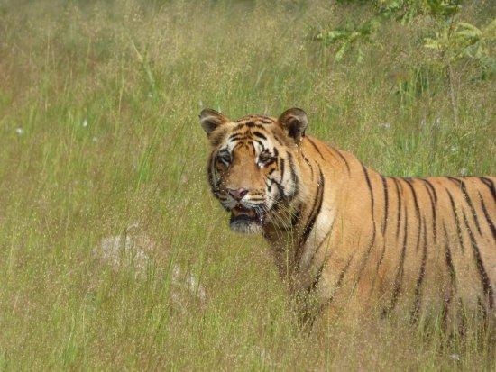 Tadoba Andhari Tiger Reserve, Indie: Matkasur - Tadoba
