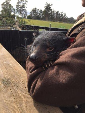 Trowunna Wildlife Park: Female Tasmanian Devil