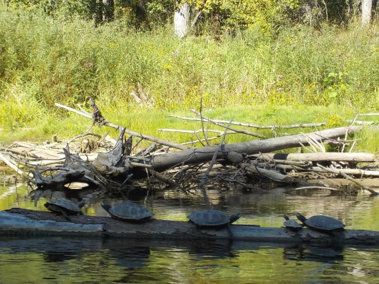 Newaygo, Мичиган: Enjoying the warm sunshine before winter. Turtles on the Muskegon River.