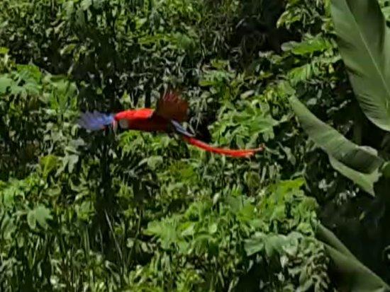 Golfito, Costa Rica: Ara macao