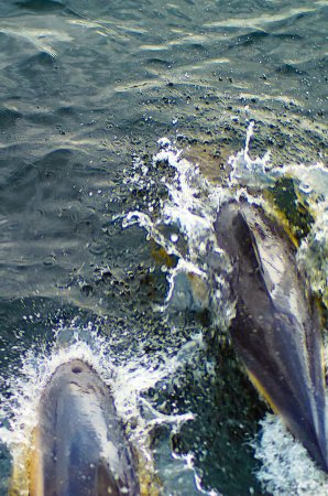 Crannog Cruises: Dolphins off the bow of the ferry