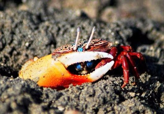 Addu Atoll: Colourful Fiddler Crabs