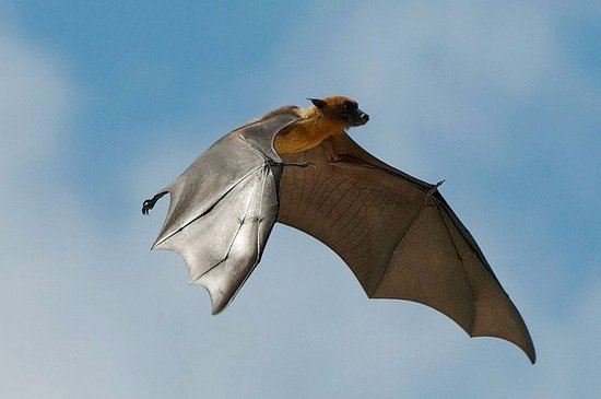 Addu Atoll: Flying fox or the fruit bats of Addu