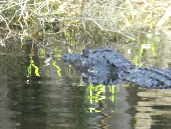 Myakka River State Park: One of the many alligators we saw from the airboat...... the boat ride was fun and very informat