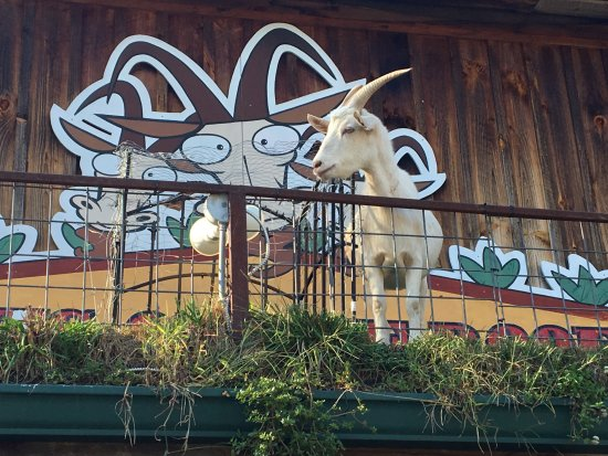 Tiger, GA: That's a goat on a roof!