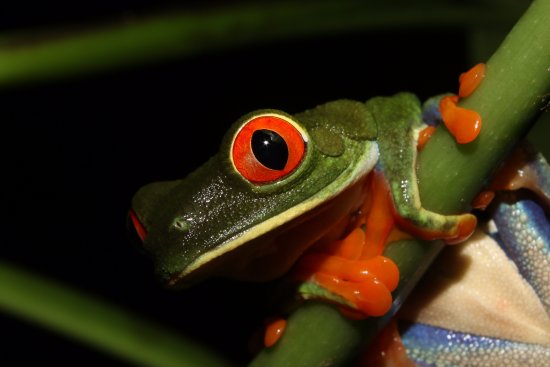 Tirimbina Biological Reserve: Red eyed tree Frog.