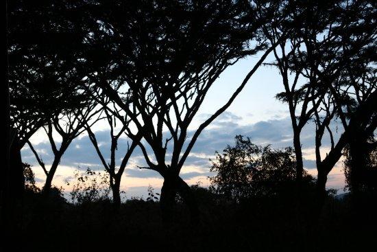Lemala Ngorongoro Tented Camp: Sunset through canopy of umbrella acacias